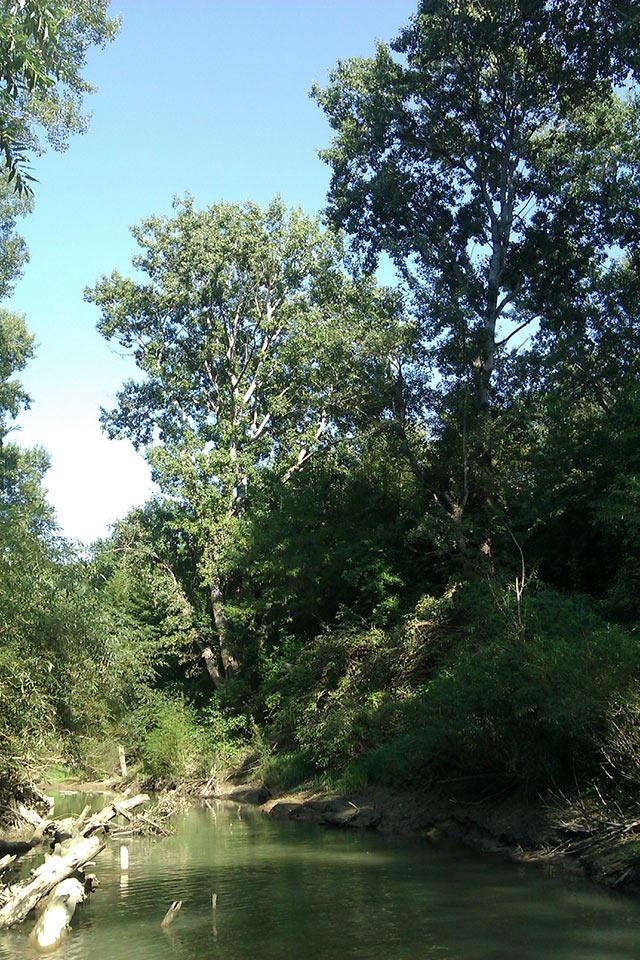 деревья-великаны - хранители сказочной речки