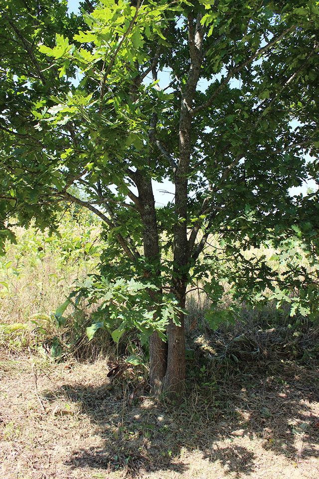 дубки-близнецы - это прозвище сразу буквально прилипло к этим деревцам