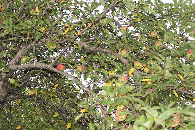 наша старенькая яблонька