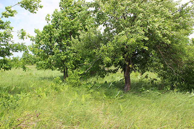 яблоня и дуб в родовом поместье